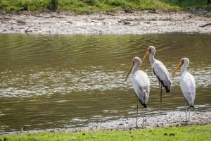 Yellowbilled Storks by Steven dosRemedios