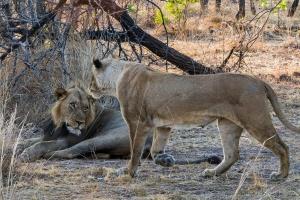 Kafue lions by Steven dosRemedios