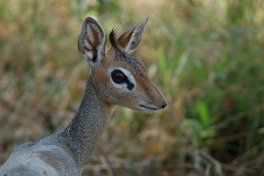 Dik-dik in Samburu