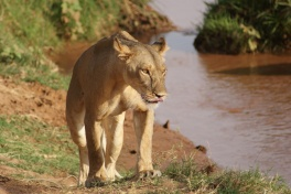 Samburu National Park lioness