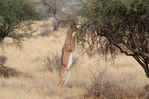 Samburu gerenuk by Julian Mason