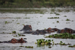 Naivasha hippos by Sum of Marc