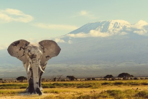 Bull elephant with Kilimanjaro behind/