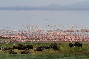 Lake Manyara Flamingoes