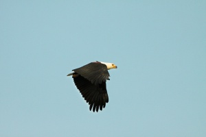 Fish Eagle by Lee Boddie