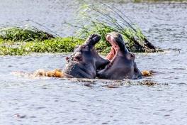 St Lucia hippos