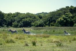 Isimangaliso zebras
