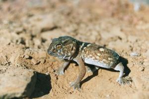 Namib gecko by Duncan
