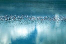 Flamingo Migration