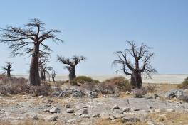 Baobabs at Makgakgadi