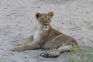 Lion by Michael Jansen