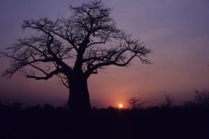 Baobab at Sunset by Derek Keats