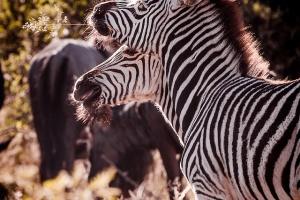 Zebra by Gunther Wegner