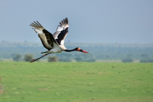 Saddle-billed Stork in Uganda by Rod Waddington