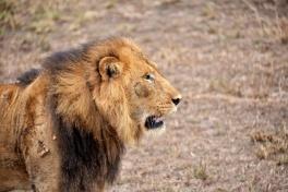 Lion in Queen Elizabeth NP