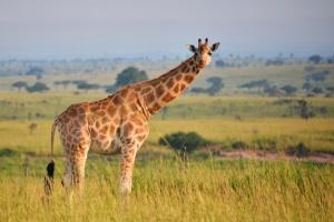 Giraffe in Queen Elizabeth NP by Rod Waddington