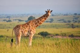 Giraffe in Queen Elizabeth NP