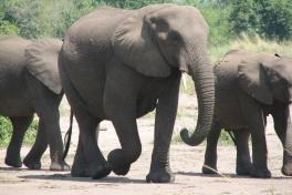 Elephant herd in Queen Elizabeth Park