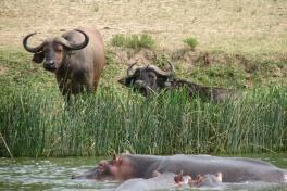 Hippos & Buffalos in Queen Elizabeth NP