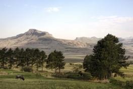 Wildebeest, uKhahlamba Drakensberg