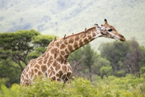 Hluhluwe giraffe by Michael Mayer