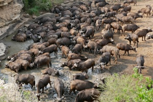 Hluhluwe-iMfolozi buffalos by Bernard Dupont
