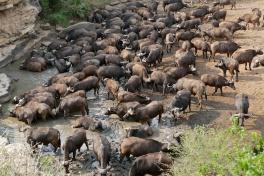 Hluhluwe-iMfolozi buffalos