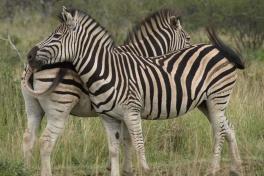 Hluhluwe-iMfolozi Park zebras