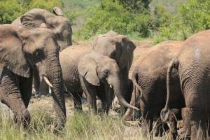Hluhluwe-iMfolozi Park elephants by Bobbie