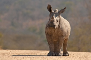White rhino calf, Kruger
