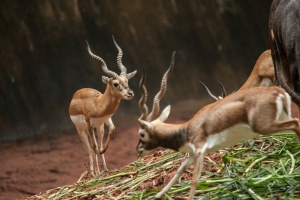 Impala ram caught mid-jump