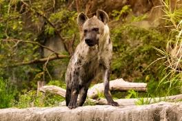Spotted Hyena, Kruger Park