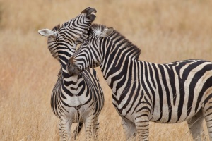 Burchell's Zebra - mother and son