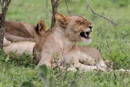 Kruger lions resting