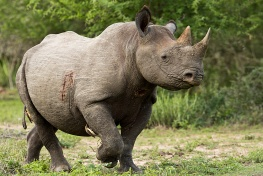 Black rhino in Kruger