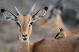 Kruger-day-impala-bird