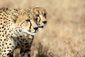 Kruger cheetahs by Bruce Taylor