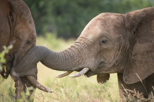 Kruger elephants by Bruce Taylor