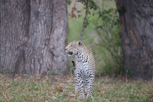 Kruger leopard by Bruce Taylor