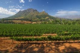 Stellenbosch vineyards with the Simonsberg mountain behind