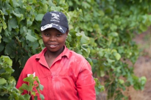 Harvesting grapes in Stellenbosch, South Africa
