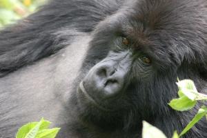 Rwanda gorilla by Joachim Huber