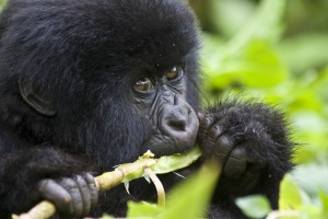 African mountain gorilla by Hjalmar Gislason