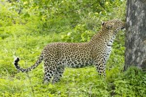 Leopard sighting in the Timbavati