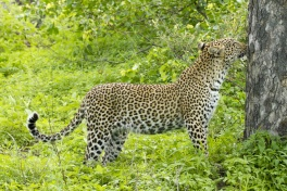 Leopard sighting in the Timbavati