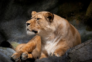 Lioness reclining on a rock in the Timbavati