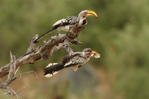 Yellow-billed hornbills sighted in the Timbavati Private Nature Reserve