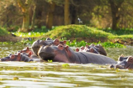 Hippos basking in Lake Naivasha