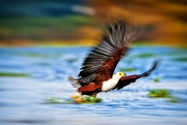 An African Fish Eagle on the hunt in Lake Naivasha National Park