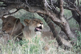 Thornybush lions